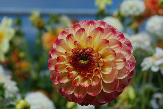 Dahlia 'Kaiser Wilhelm'. Photo by Shelagh Fritz