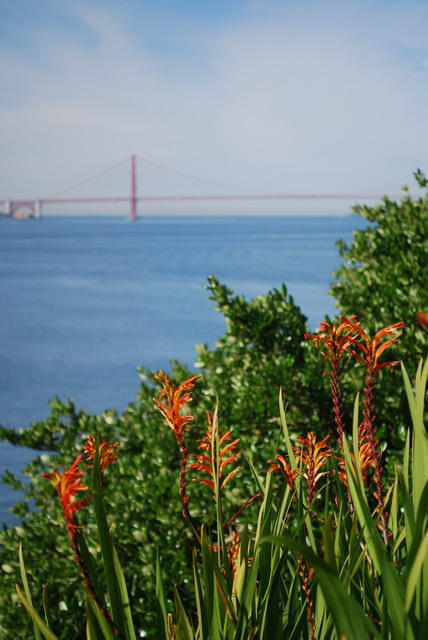 Blooming Chasmanthe with the Golden Gate Bridge in view. Photo by Shelagh Fritz