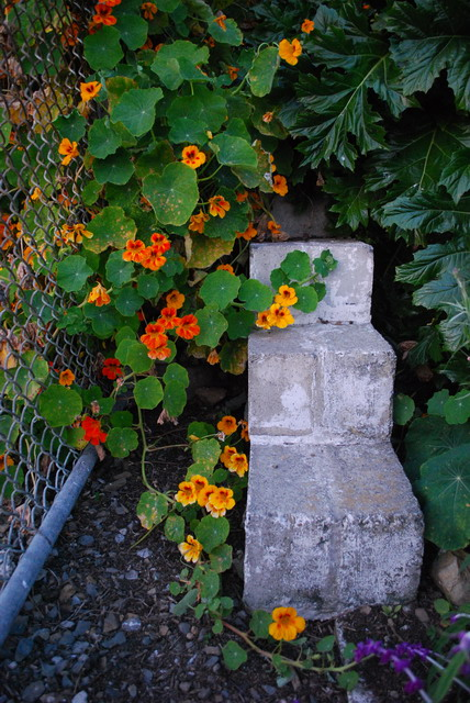 Nasturtiums escaping their boundaries. Photo by Shelagh Fritz