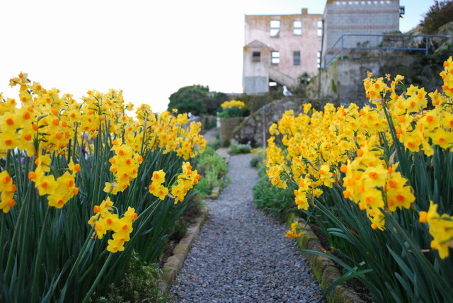 Daffodils blooming in Officers' Row. Photo by Shelagh Fritz