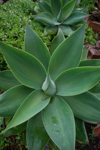 Agave attenuata has smooth leaves and no thorns. Photo by Shelagh Fritz