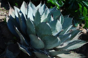Agave parryi