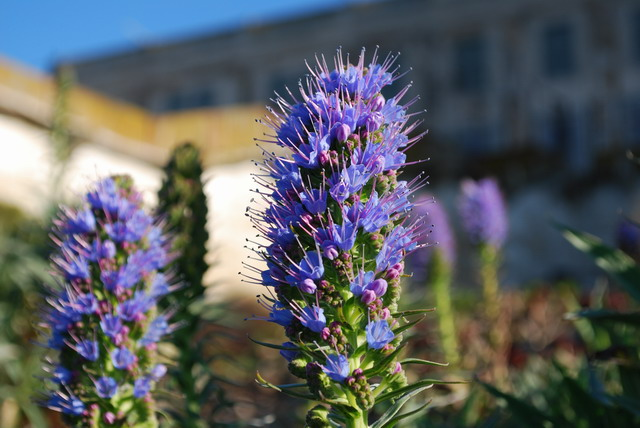 Pride of Madeira, Echium candican. Photo by Shelagh Fritz