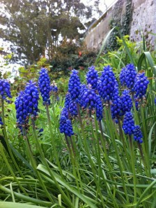 Grape hyacinth. Photo by Shelagh Fritz