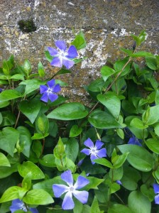 Periwinkle from Europe. Photo by Shelagh Fritz