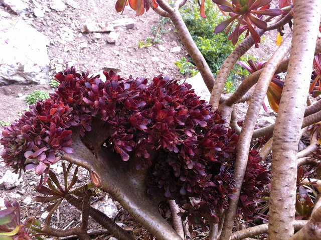 The flattened stem of affected stem compared to the normal round stem of the aeonium. Photo by Shelagh Fritz