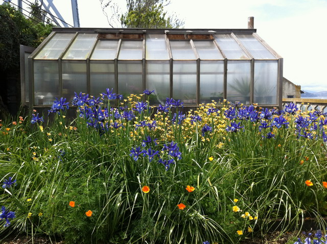 Homeria and dutch iris in the rose terrace. Photo by Shelagh Fritz
