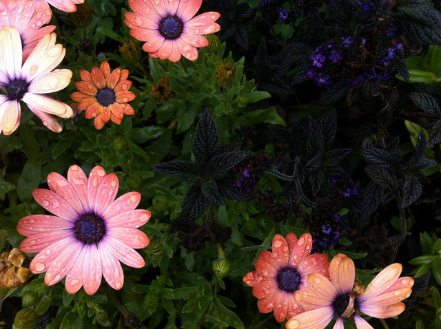 Osteospermum with Heliotrope. Photo by Shelagh Fritz