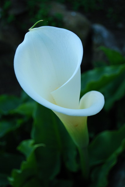 Calla lily. Photo by Shelagh Fritz.