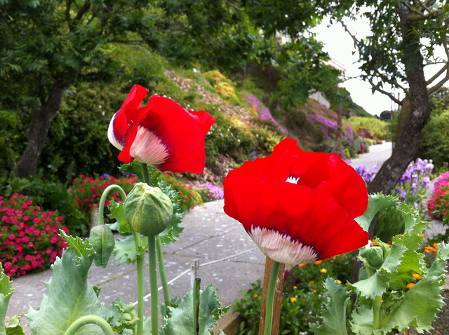 An annual poppy in the Prisoner Gardens. Photo by Shelagh Fritz