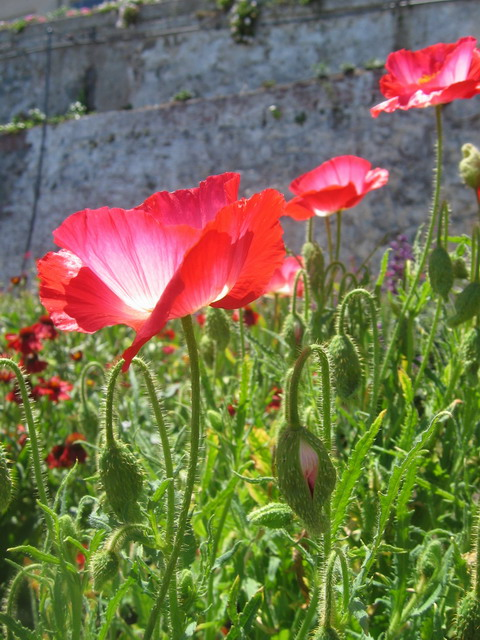 Shirley poppies in Officers' Row gardens. Photo by Al Healy.
