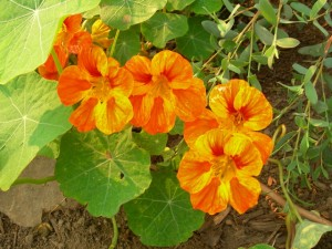 Nasturtium from South America. Photo by Shelagh Fritz