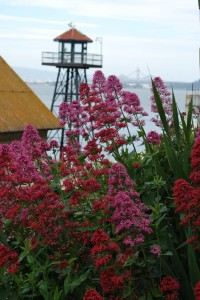 Centranthus ruber with the ever watchful guardtower. Photo by Shelagh Fritz