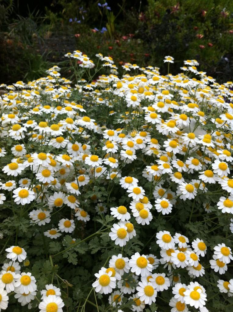 "Tanacetum niveum ""White Bouquet Tansy"""
