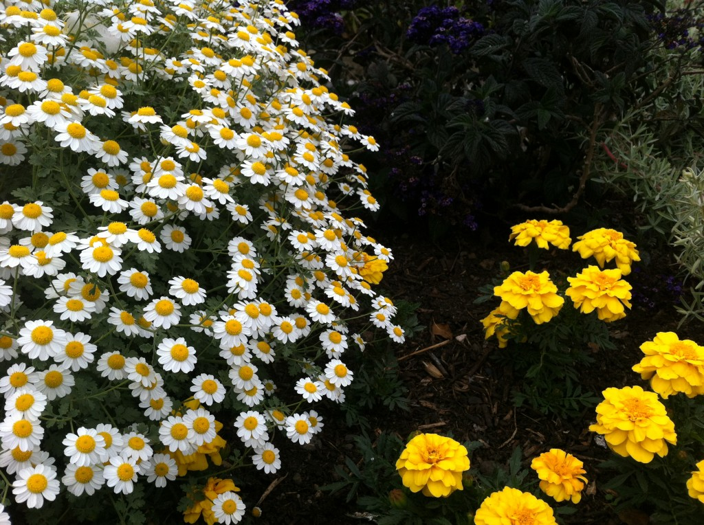 "Tanacetum niveum ""White Bouquet Tansy""  with marigolds. Photo by Shelagh Fritz"