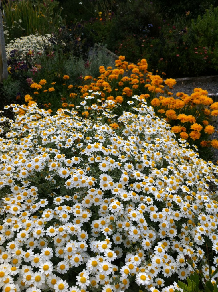 "Tanacetum niveum ""White Bouquet Tansy""  with coreopsis"