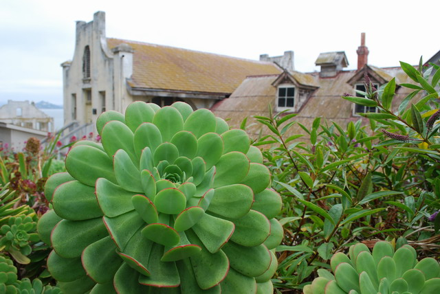 The basketball size of Aeoniums in the Chapel bed along the Main Road. Photo by Shelagh Fritz