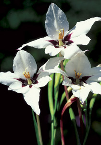 Abyssinian gladiolus. Photo courtesy of Old House Gardens