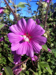 Flower of Lavatera assurgentiflora (mallow). Photo by Shelagh Fritz