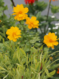 Coreopsis grandiflora 'Sunburst'. Photo courtesty of Annie's Annuals