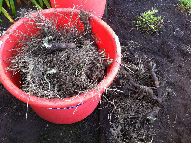 Bins of extra iris rhizomes. Photo by Shelagh Fritz