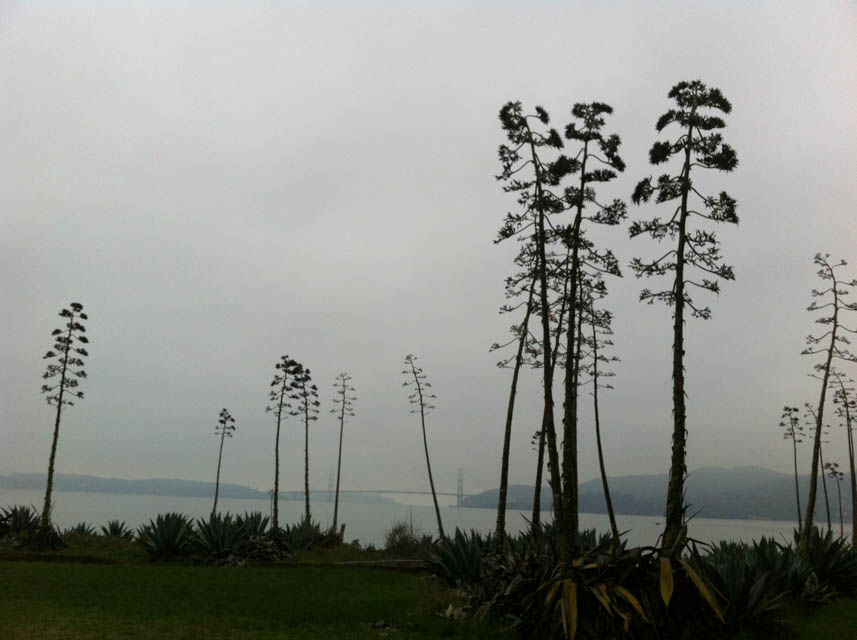 The military planted Agave americana, just like on Alcatraz. The Golden Gate Bridge can be seen in the fog. Photo by Shelagh Fritz