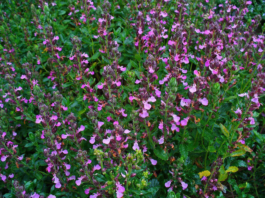 A new plant that we will try this year - Teucrium chamaedrys.