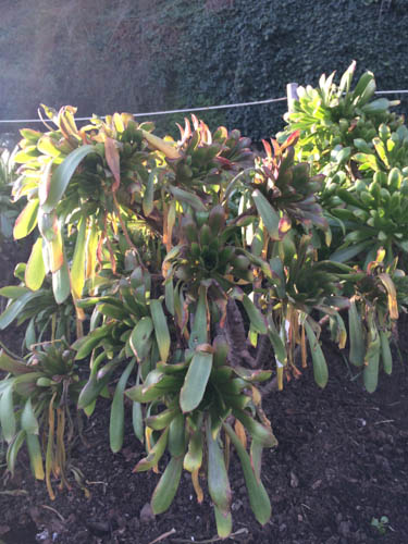 Cold damage to Aeonium arboreum. Photo by Shelagh Fritz