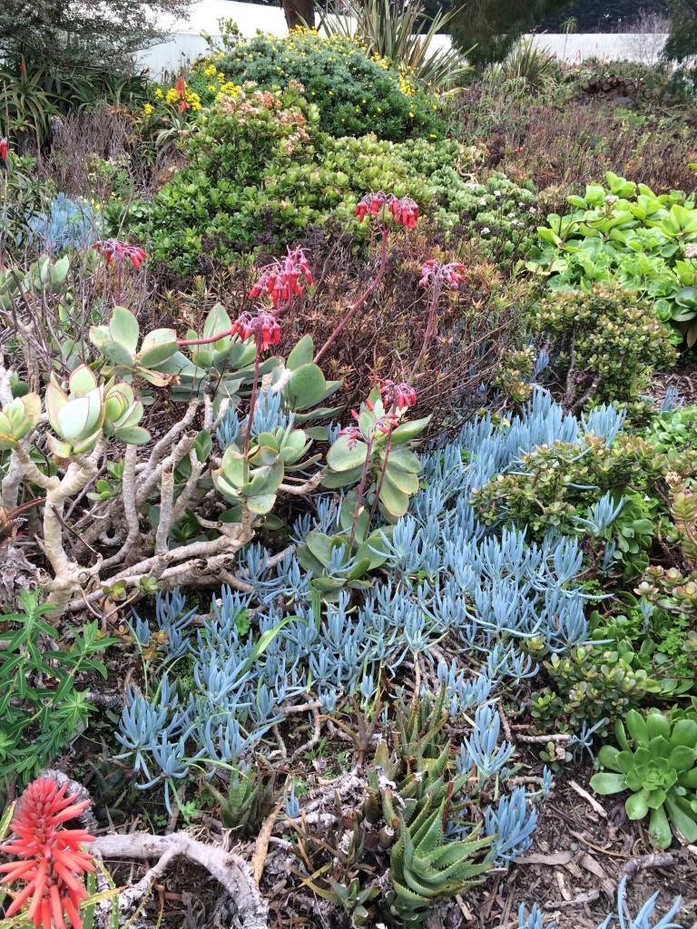 Blue Senecio rambling amongst grey Orbiculata. Shelagh Fritz photo