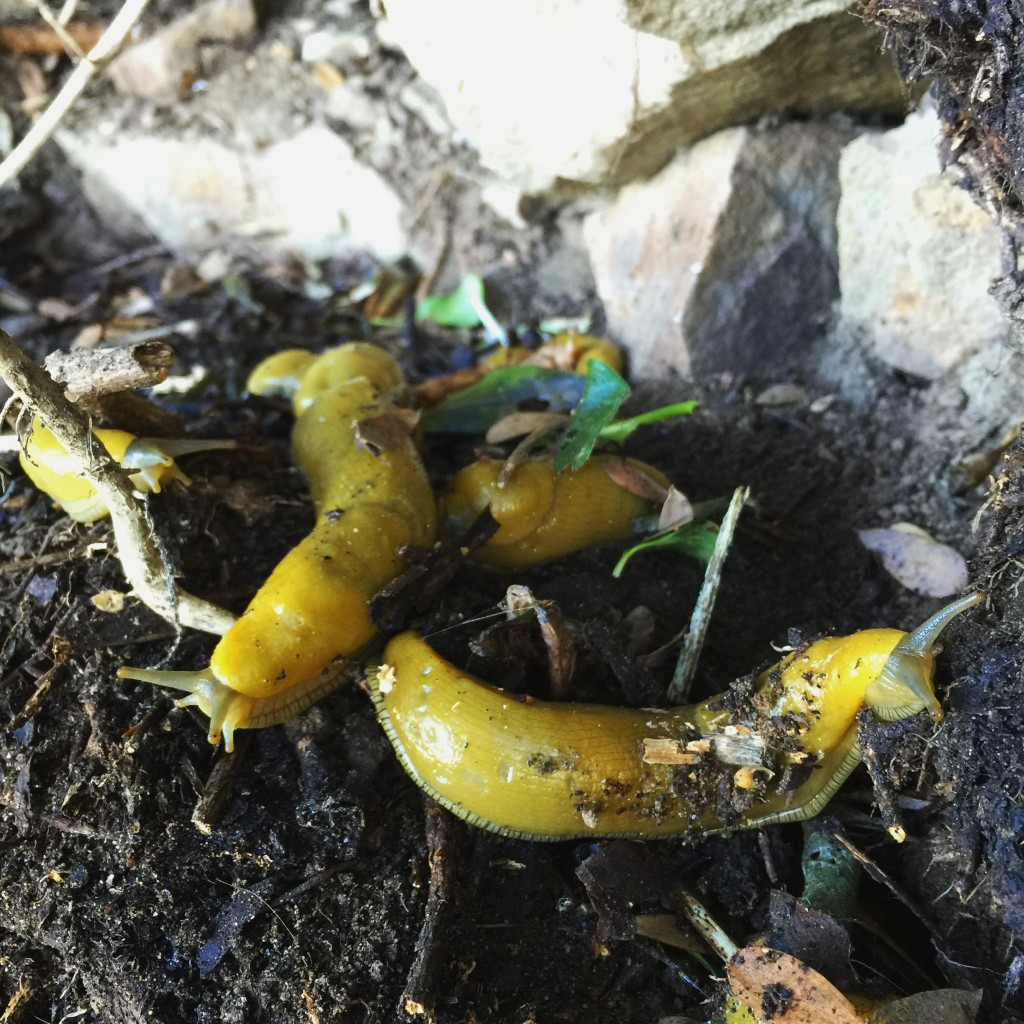 Banana slug party on Alcatraz after the first rain. Photo by Caity Chandler