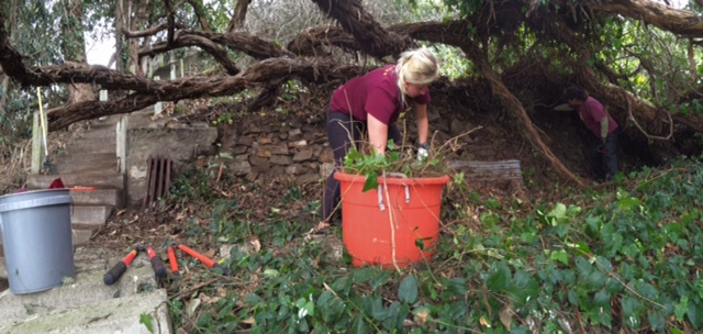 Volunteers clearing ivy from terraces. Photo by Shelagh Fritz