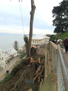Arborists working to remove the large cypress tree. Photo by Shelagh Fritz