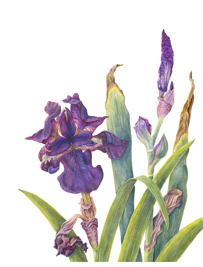 Iris 'King's Ransom' illustrated by Catherine Dellor shows the plant as it grows in the gardens with the fading leaves.