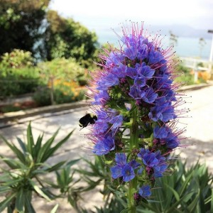 Echium getting some bee lovin'. Photo by: Caity Chandler