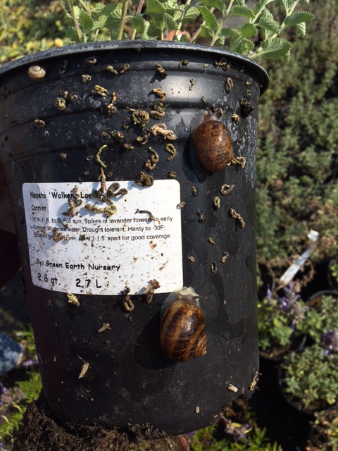 Snails that could hitch hike a ride to Alcatraz. Photo by Shelagh Fritz